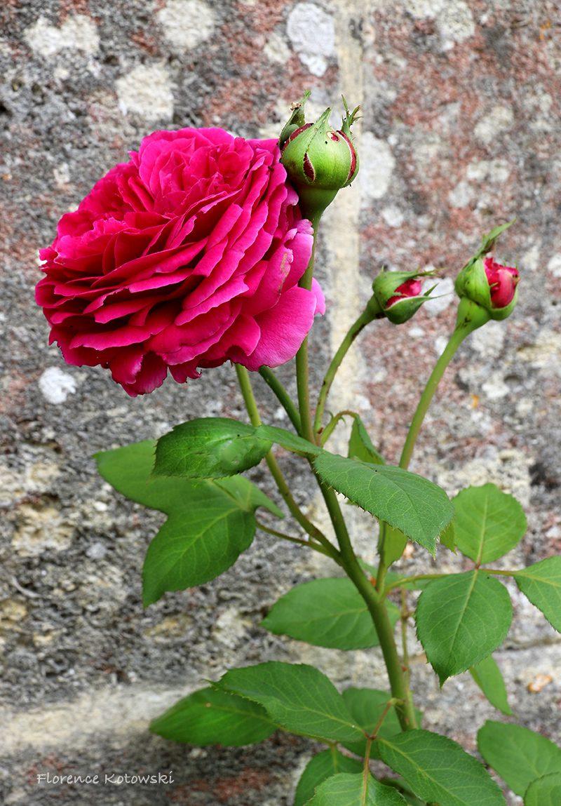 Florence Kotowski - summer 2016 - Falstaff Rose