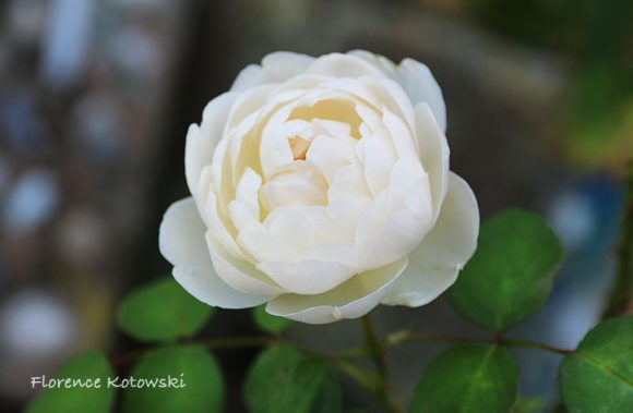 Florence Kotowski - Summer 2016 - Glamis Castle Rose