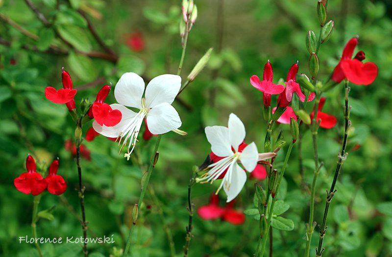 Florence Kotowski - Summer 2016 - Oenothera lindheimeri & Pink sage