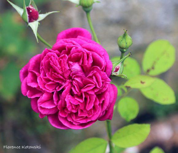 Florence Kotowski - Summer 2016 - Rose Purple