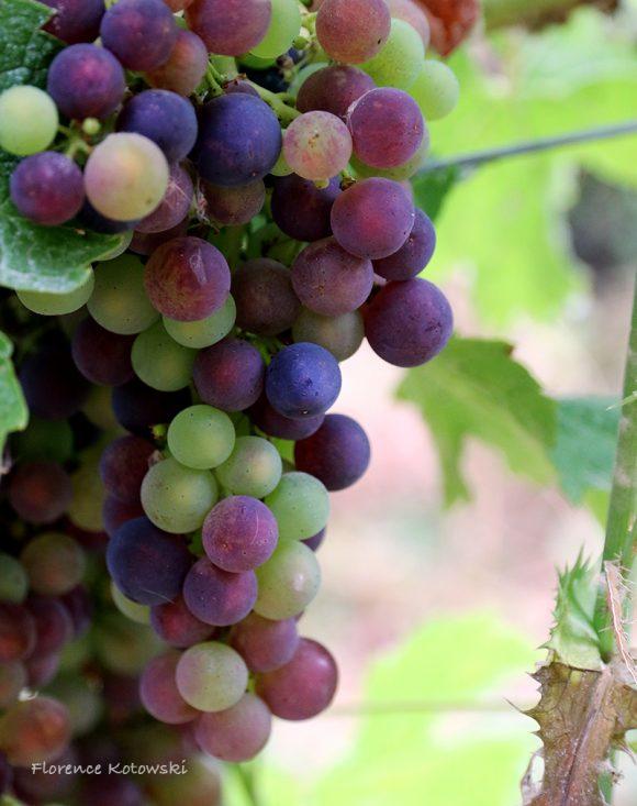 Florence Kotowski - Summer 2016 - Grape - Côtes de Bourg - Bordeaux