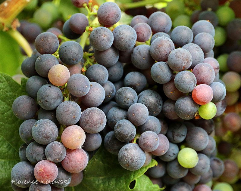 Florence Kotowski - summer 2016 - Grape - Cote de Bourg - Bordeaux