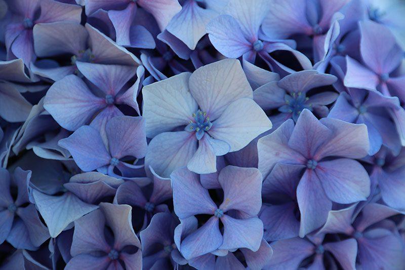 Florence Kotowski - Summer 2016 - Hortensia Blue